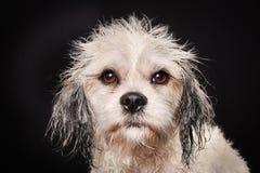 Чистоплеменная собака Havanese Стоковое Изображение