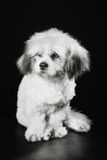 Чистоплеменная собака Havanese Стоковая Фотография