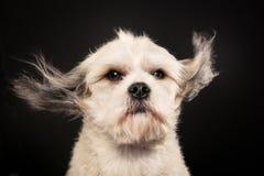 Чистоплеменная собака Havanese Стоковое Фото