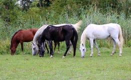 Чистоплеменные аравийские лошади пася на летнем времени выгона Стоковое Изображение RF