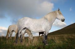 Чистоплеменные аравийские лошади Стоковая Фотография RF
