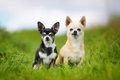 Чистоплеменные собаки стоковая фотография rf