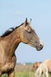 Чистоплеменный портрет лошади akhal-teke Стоковое Фото