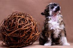 Чистоплеменный щенок Стоковое Фото
