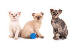 3 чистоплеменных котят сфинкса Стоковое фото RF