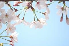 Чистота вишневых цветов стоковая фотография rf