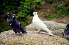 Чисто белый голубь и серый цвет Стоковое фото RF
