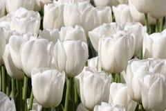 Чисто белый сад тюльпана Стоковое Изображение RF