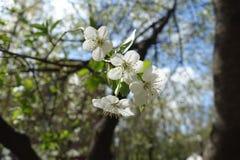 4 чисто белых цветка общей вишни Стоковое Изображение