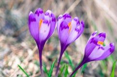 Чисто цветки крокус Стоковые Изображения