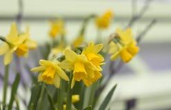 Чисто Daffodils Стоковые Изображения RF