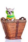 Чихуахуа в корзине Стоковое Фото