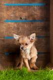 Чихуахуа в коробке изолированной на белой предпосылке Стоковые Изображения RF