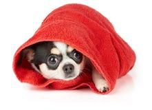Чихуахуа в красном полотенце Стоковые Фото