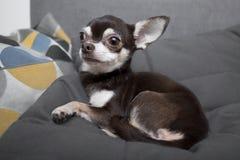 Чихуахуа лежа и отдыхая на серой софе внутри помещения Стоковые Изображения RF