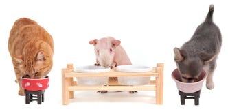 чихуахуа есть изолированную гинеей свинью котенка Стоковые Изображения RF