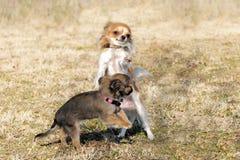 чихуахуа играя щенят Стоковая Фотография