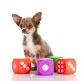 Чихуахуа изолированный на белых собаке и игрушках предпосылки Стоковые Изображения RF