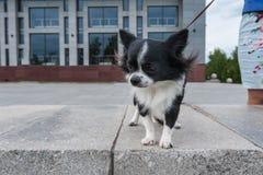 Чихуахуа идя в город Стоковое фото RF