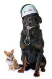 Чихуахуа и rottweiler полицейской собаки Стоковые Изображения RF
