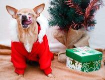 Чихуахуа маленькой собаки в костюме Новый Год рождества Стоковое Фото