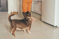 Чихуахуа маленькой собаки наблюдает по мере того как хозяйка подготавливает стоковые фото