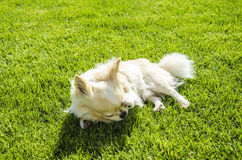 Чихуахуа на лужайке Стоковое фото RF