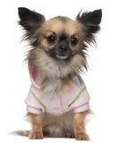 чихуахуа одетьло рубашку Стоковое Фото
