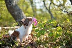 Чихуахуа пахнет цветком стоковое изображение rf