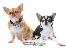 Чихуахуа полицейской собаки Стоковая Фотография RF