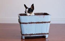 Чихуахуа пряча в голубой деревянной коробке Стоковое Изображение