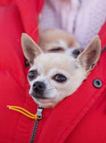 Чихуахуа сидя в куртке Стоковые Изображения RF