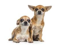 2 чихуахуа сидя совместно (5 лет) Стоковые Фотографии RF