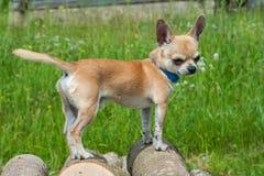 Чихуахуа собаки бежевый стоит на швырке стоковые фотографии rf