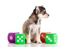 Чихуахуа собаки изолированный на белых игрушках предпосылки Стоковая Фотография RF
