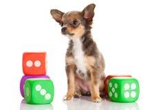 Чихуахуа собаки на белой предпосылке dices Стоковые Изображения RF