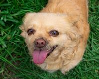 Чихуахуа собаки, портрет На загерметизированной траве стоковая фотография