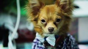 Чихуахуа собаки сидит Стоковое Изображение