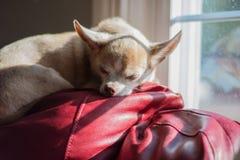 Чихуахуа спать в солнце Стоковые Фотографии RF