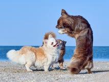 Чихуахуа танцует перед 2 из его приятелей Стоковые Изображения RF