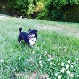 Чихуахуа щенка бежать на поле травы и клевера стоковые фотографии rf