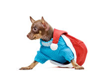 Чихуахуа щенка в красной крышке Новый Год Стоковые Фотографии RF