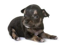 Чихуахуа щенка в студии Стоковые Изображения RF