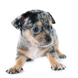 Чихуахуа щенка Стоковое фото RF