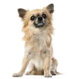 Чихуахуа, 1.5 лет старый, усаживание и смотреть Стоковая Фотография RF