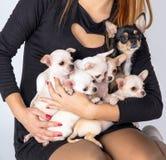 Чихуахуа puppys Beautifuls белый лежит в руках на ow стоковые фотографии rf