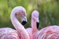 Чилийские фламингоы Стоковые Фото