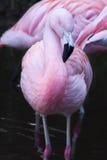 Чилийские фламингоы Стоковое Фото