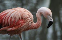 Чилийский конец фламинго стоковое изображение