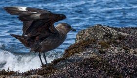 Чилийский поморниковый, пролив Magellan, Патагония, Чили Стоковое Изображение RF